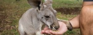 Hand feeding kangaroo in perth